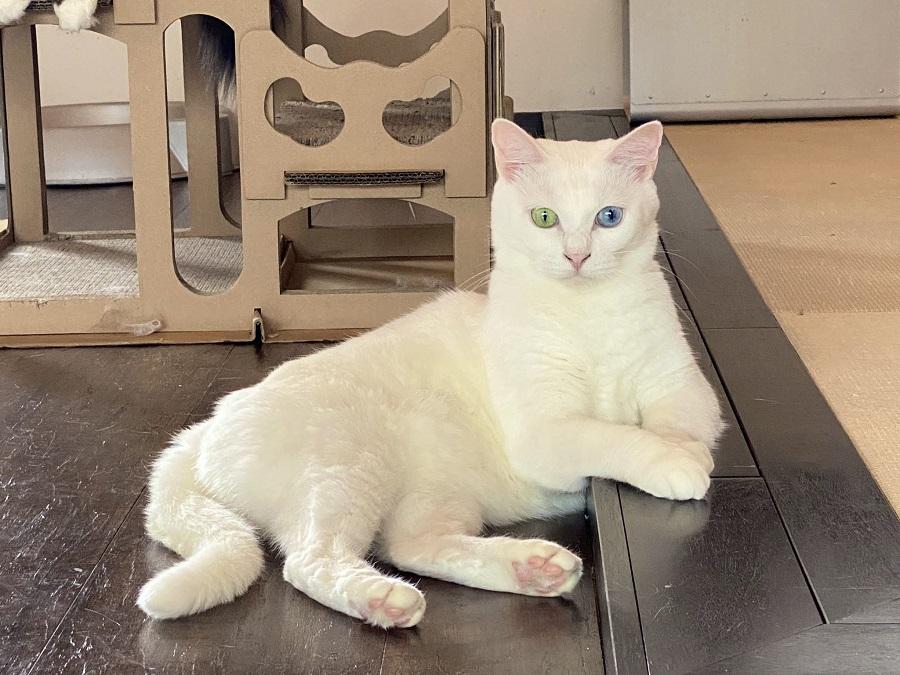 「悩みがあるなら…聞くわよ」 神秘的な白猫マダムがオーラの泉感ある