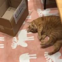 「なでなでして~?」猫の連続おねだりにキュン死 「尊い………