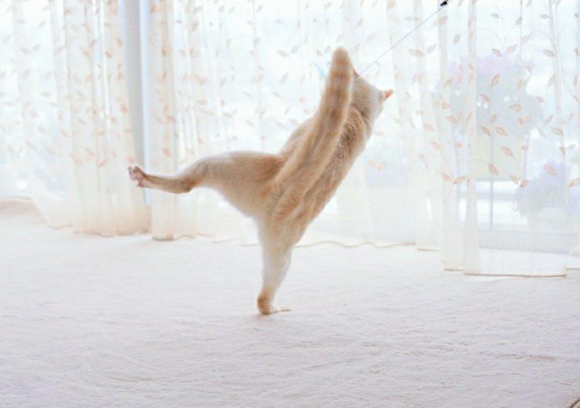シコふんじゃったニャン 忍者猫の決定的瞬間を捉えた
