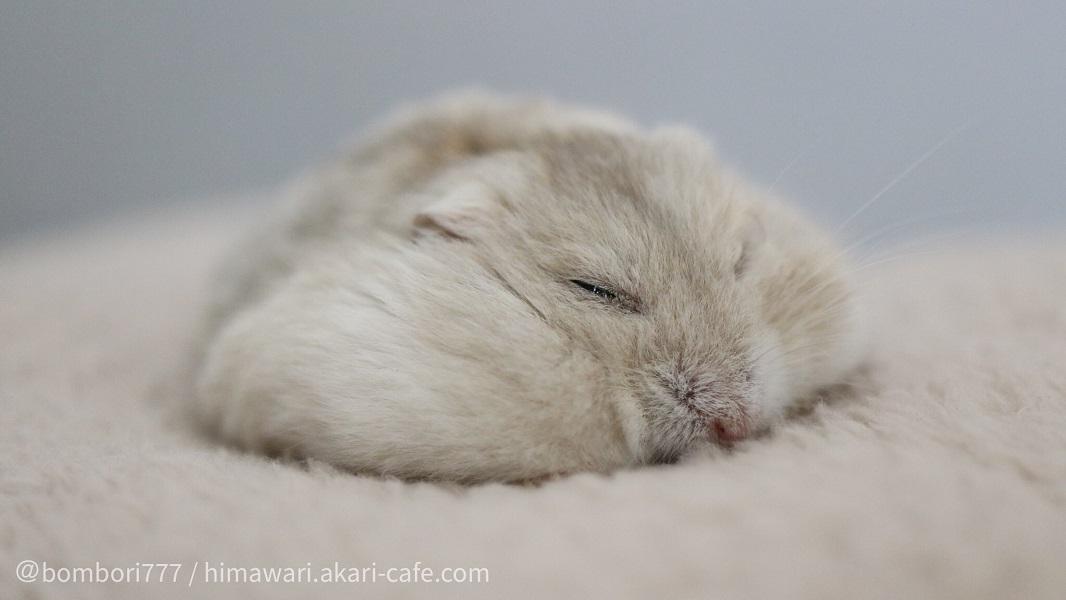 悠々自適に寝るハムスター その裏にあった飼い主さんの愛に癒やされる