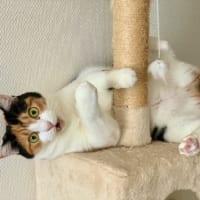 あれ?抜けない……太り気味の猫がキャットタワーで…