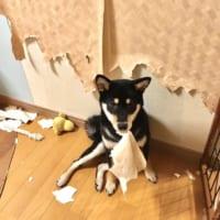 「柴犬は可愛い」「でも家を破壊します」 飼い主のツイートに…