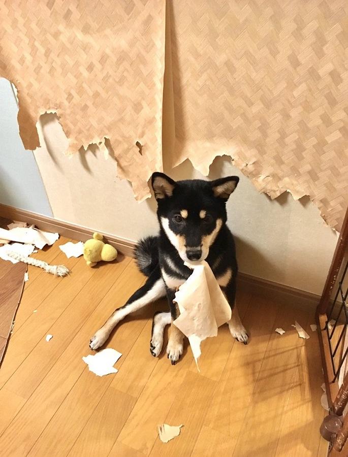 「柴犬は可愛い」「でも家を破壊します」 飼い主のツイートに共感の声あつまる