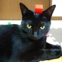 ブロックが頭に……子供にいじられてもジッとしている猫