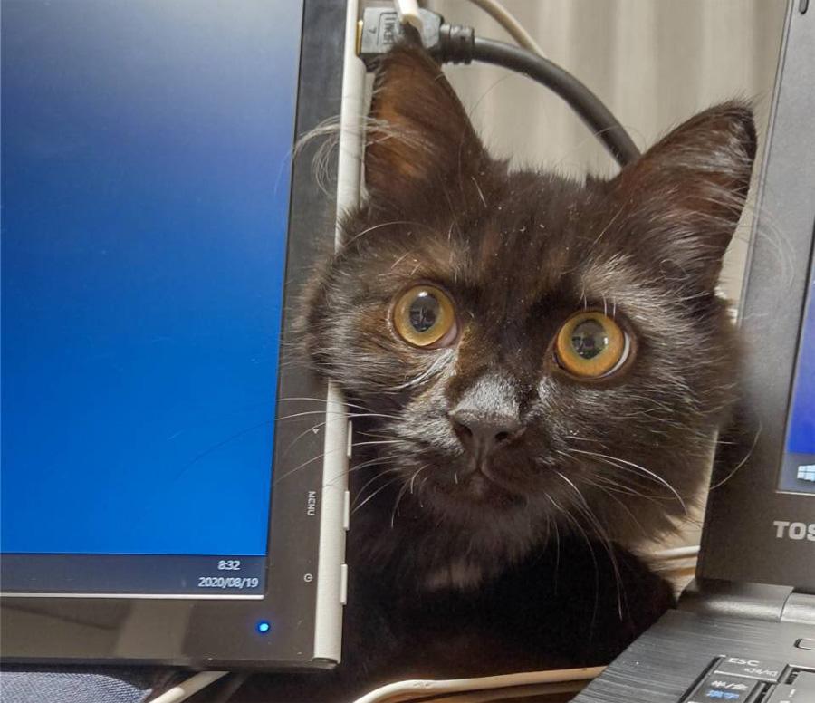 「進捗どう?」 在宅勤務の飼い主を見に来る「上司猫」が可愛すぎる