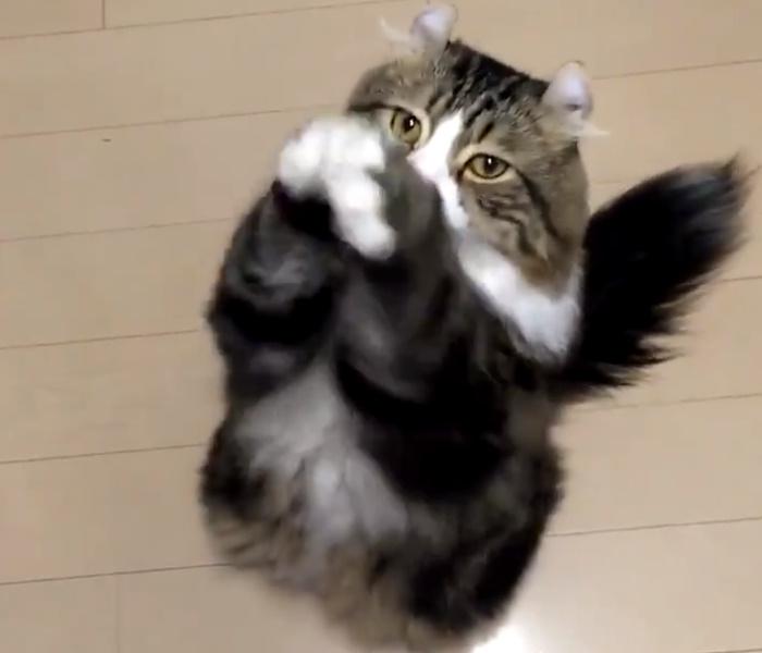 朝の大事なごあいさつですニャ おねだりポーズをする猫ちゃんがかわいい