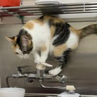 お水出しますニャ! 水道の蛇口に興味津々の子猫ちゃん