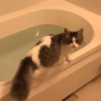「え!?」愛猫が水の中にダイブ 飼い主さんも大慌て