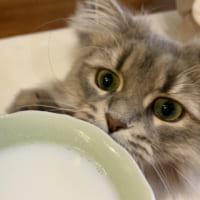「おいしいニャ!」 暖かいヤギミルクを飲んでご満…