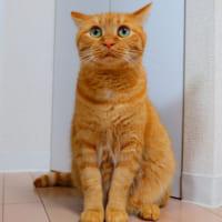 話を聞く姿勢の猫 じっと飼い主を見つめて真剣な眼差し