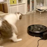 動くロボット掃除機に超反応する猫 ガタッ→後ろ飛…