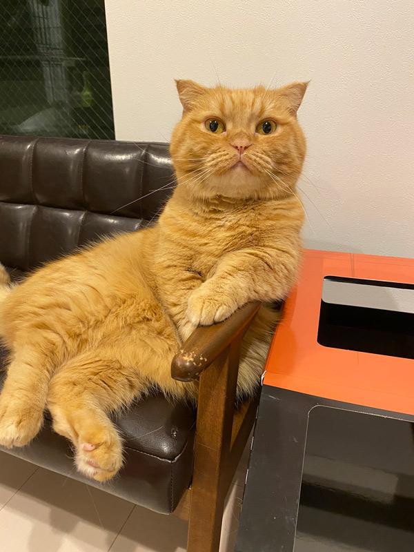 お嬢様の風格 中に人が入ってるような姿勢でソファに座る猫
