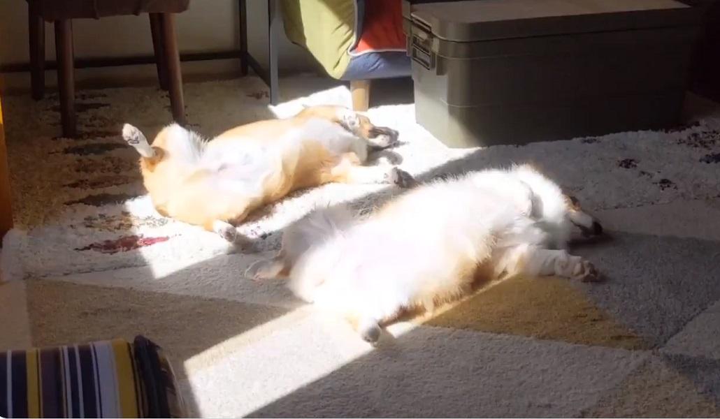 コーギーの天日干し?ヘソ天状態で日向ぼっこする犬の兄妹
