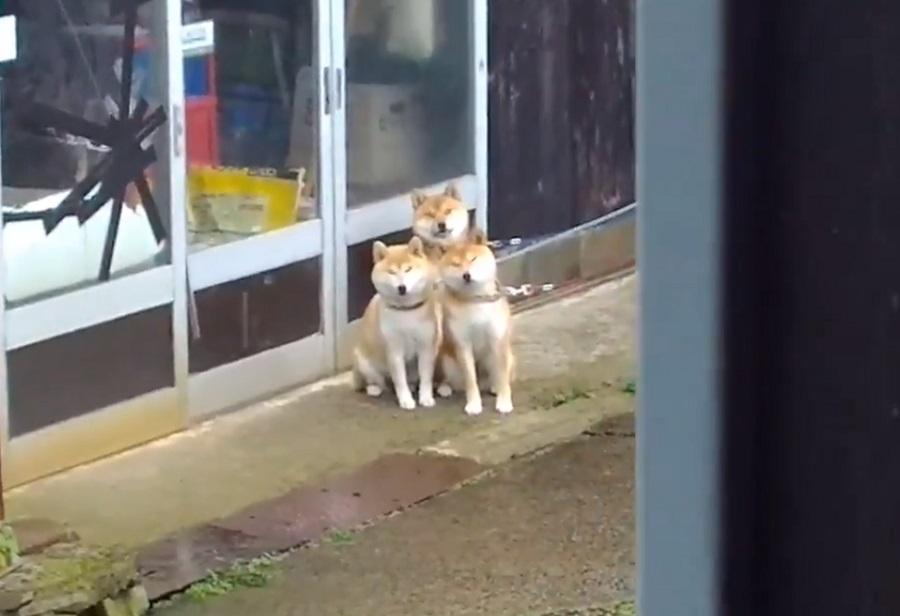 裏庭にケルベロス!? 散歩待ちしている3匹の柴犬