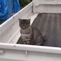 軽トラ荷台でイキる猫 飼い主からの弱点攻撃で一気にデレ化