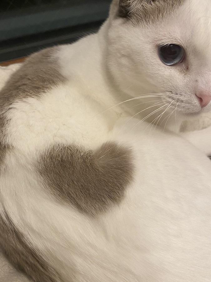 猫の身体にハートの模様 「ご利益ありそう」と評判のラッキーニャンコ