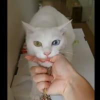 行かないでアピールが激しい猫 飼い主さんの指をくわえて「行…
