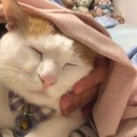 人間の「妹」に定位置を譲る猫 「ボクお兄ちゃんだから!」