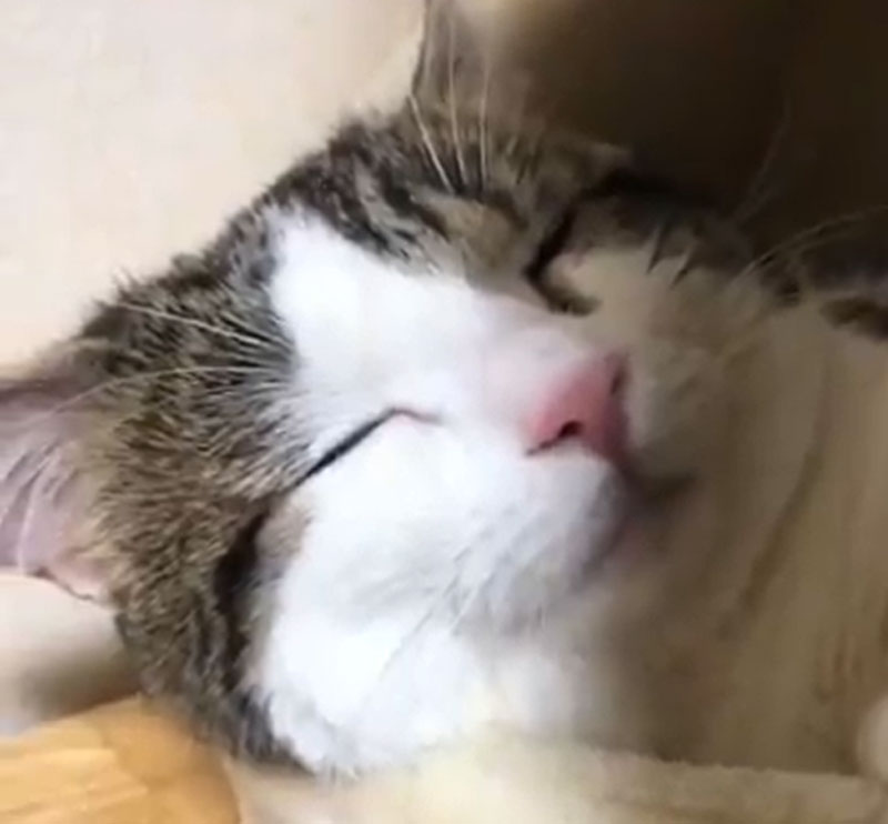 猫の寝顔は最大の癒やし スヤァっと気持ちよさそうに眠る猫ちゃん