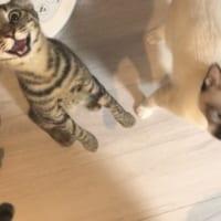 「ご飯はよ!!!」 ご飯が大好きすぎる猫