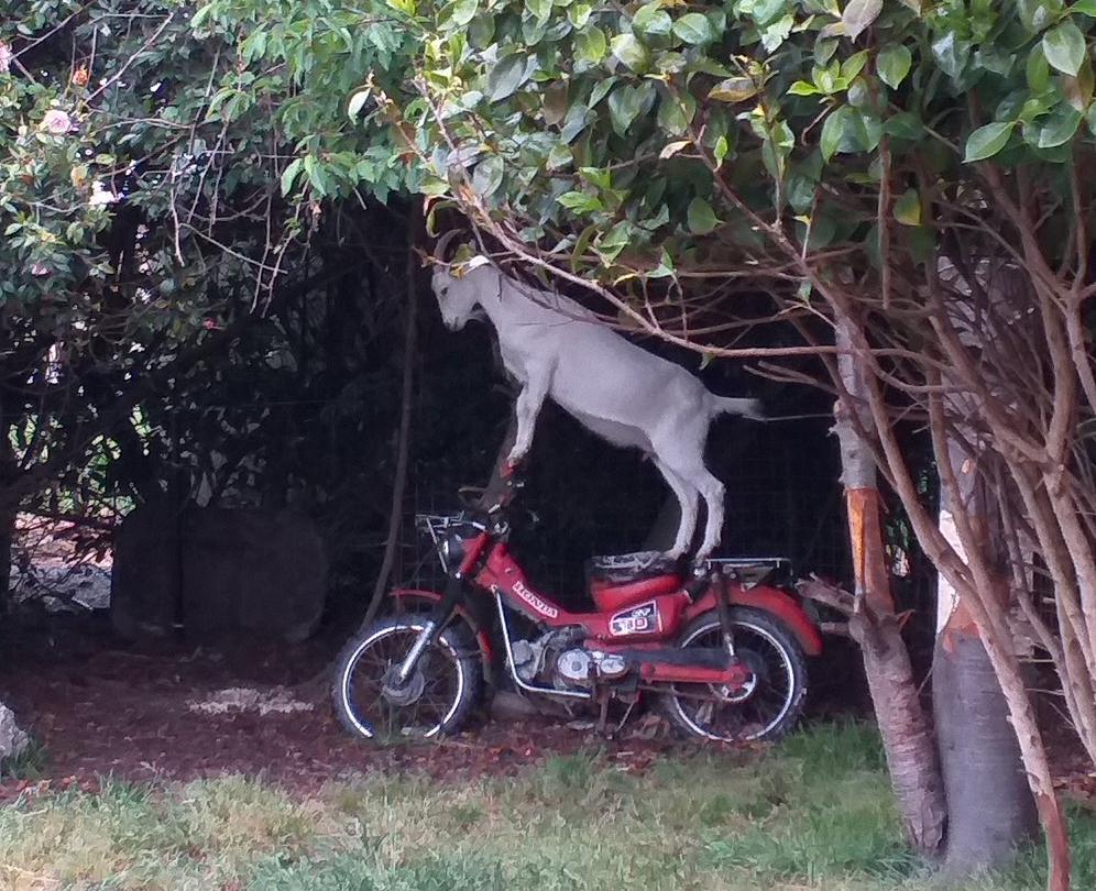 盗んだバイクで走り出す~ 慣れたようすでバイクに乗るやぎ