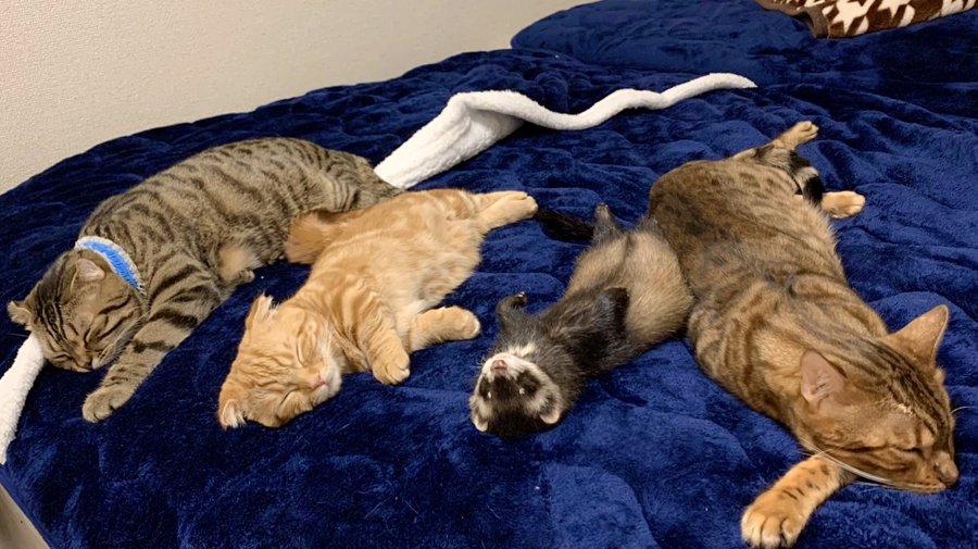 モフモフ~ 猫とフェレットがふかふかベッドでスヤスヤ
