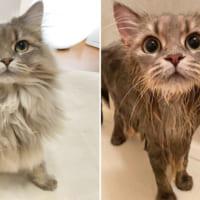 お風呂に入る前と後 モフモフサイベリアンが大変貌を遂げる
