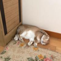 床に落ちたぬいぐるみ?愛らしいウサギの寝姿にメロ…
