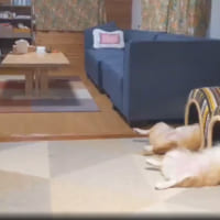 並んで眠るヘソ天コーギー兄妹 ハウスからのぞく脚がシュール…