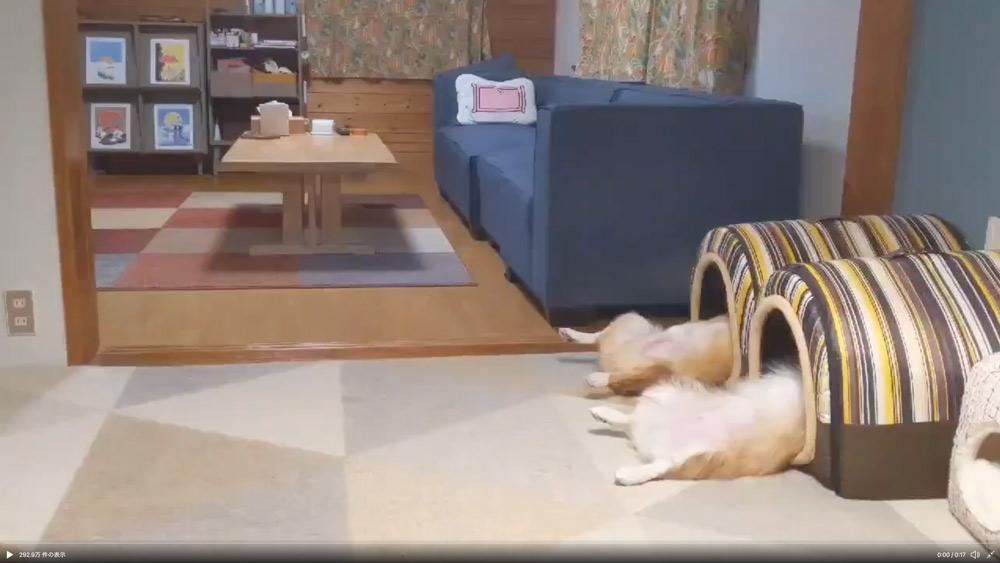 並んで眠るヘソ天コーギー兄妹 ハウスからのぞく脚がシュールで笑える