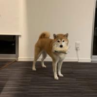えのきを盗んだ柴犬に「なぜ、それを取った?」の声