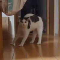 すってんころりん→スチャッ 転んだことを無かったことにする猫