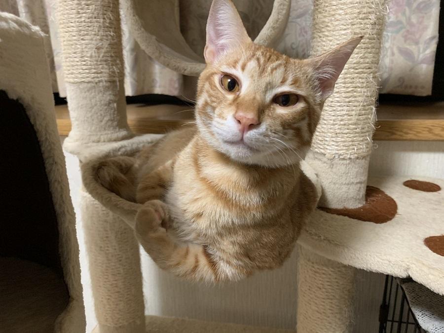 「カッチカチやぞ」 筋肉自慢してくるボディビルダー猫