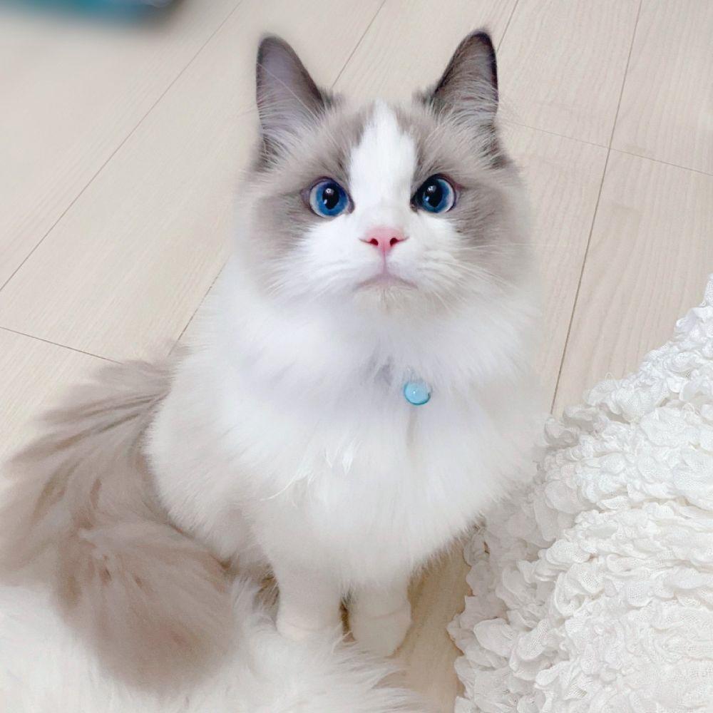 宝石のようなブルーアイ 子猫の澄んだ瞳に引き込まれる