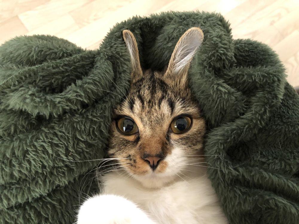 猫耳なのにうさ耳? 飼い主のイタズラから生まれた「うさ耳猫」が話題