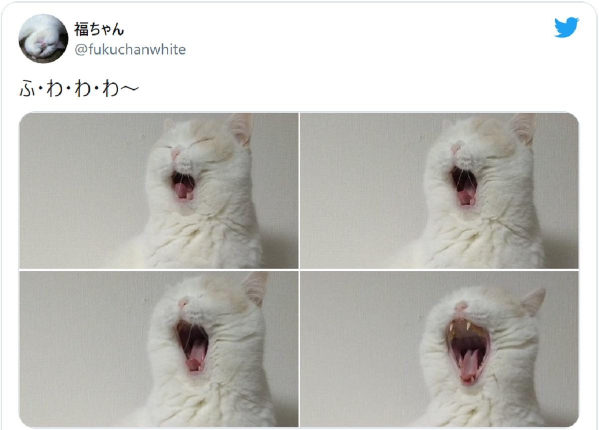 「ふ・わ・わ・わ~」豪快なあくびを披露する猫
