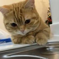 流し台の現場監督 愛猫のおかげで洗い物がはかどる!