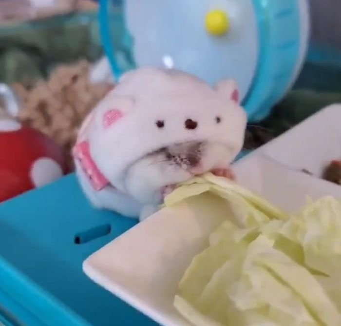 そのまま一心不乱にキャベツを食べるくぅくん。