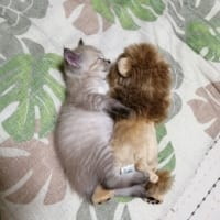 喧嘩するほど仲が良い ライオンちゃんと眠る子猫がマジ天使