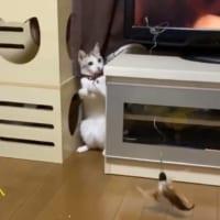 猫じゃらしで飼い主を釣ろうとする猫