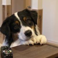 リンゴがむけるのをまつ犬 純粋な目にキュン
