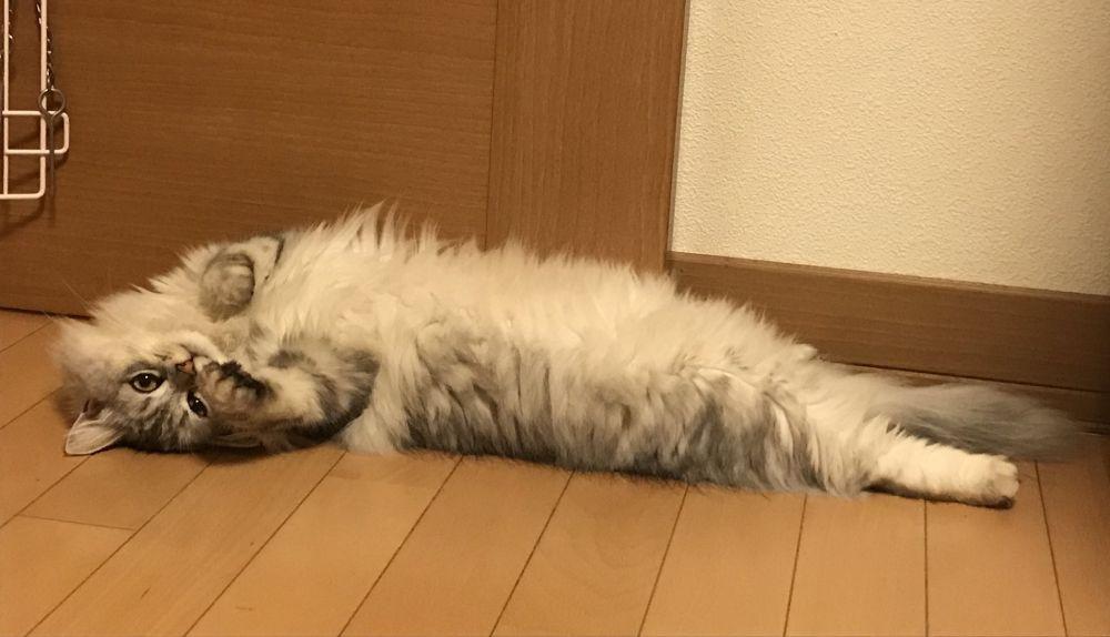 一見すると、揚げる前のエビフライ(猫)。広い「被毛」はブラックタイガーを彷彿。