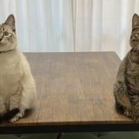 帰宅した飼い主の前に立ちはだかる猫姉妹