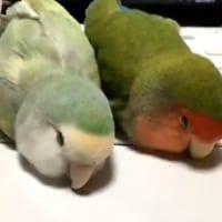 インコ2羽がキーボードの上でスヤァ 飼い主さん「あのー。。。」