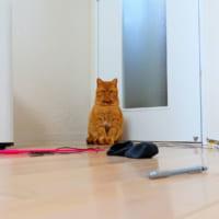 遊びたいオモチャを自分で並べて催促してくる猫