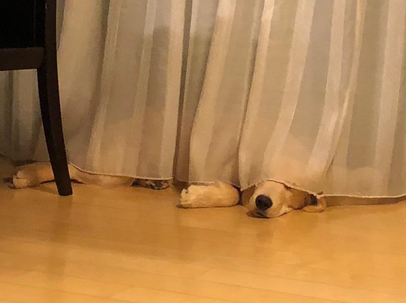 カーテンの下で寝ている、まるくん