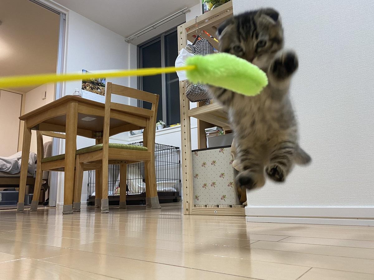 猫じゃらしに夢中な子猫 全力ジャンプ!が可愛すぎる