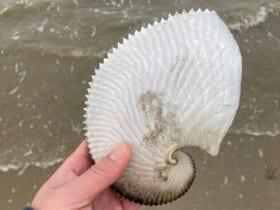 砂浜に漂着したタコ「アオイガイ」の殻(cokecoさん提供)