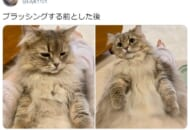 ブラッシングをする前と後をうつした猫の姿がTwitterで話題。
