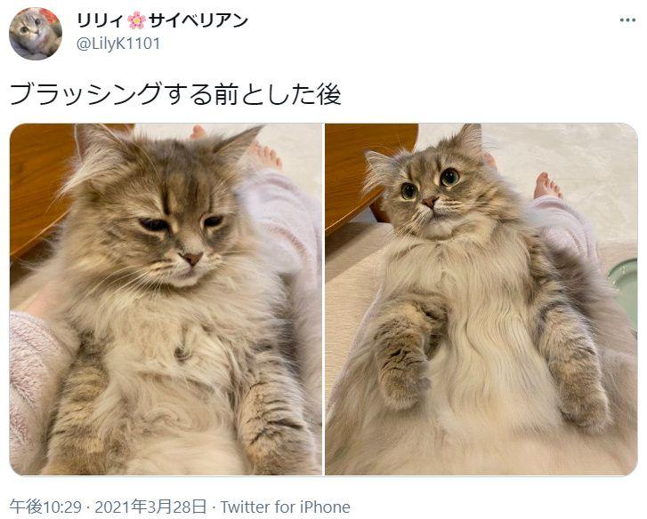 ブラッシングする前と後 サラサラ美猫に変貌したサイベリアン